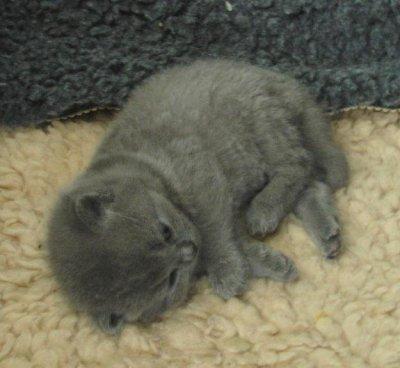 un chaton gris trop mignon , Blog de chaton019