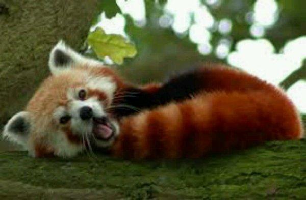 Le panda roux ♥♥♥♥
