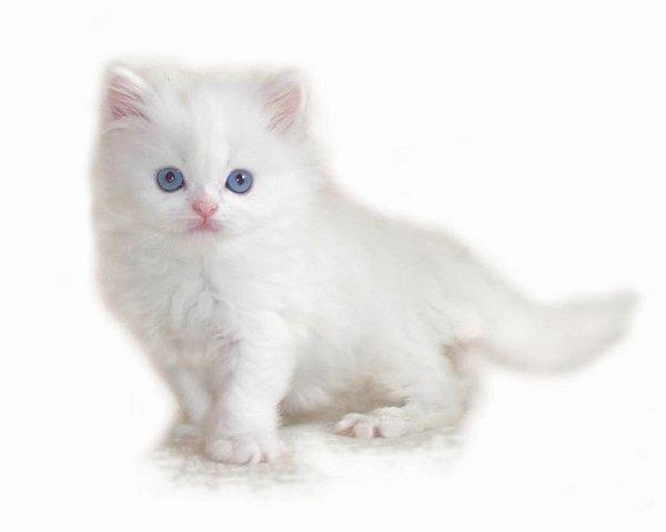 Un beau chaton aux yeux bleu