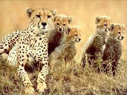 Une belle famille puma bien recomposé