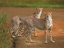 Deux jeunes guépards dans la savane