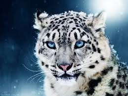 Le regard d'un guépard des neiges
