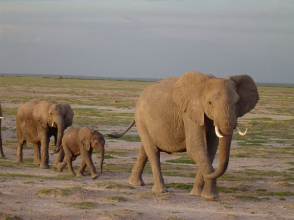 Une Belle Famille d'éléphant