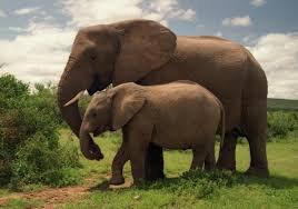 Un couple d'éléphant