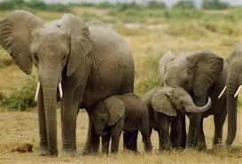 La Famille recomposés d'éléphant