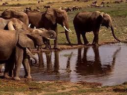 Des éléphants qui s'abreuvent