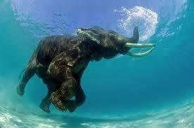 Un éléphant qui nage dans l'eau