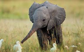 Un éléphanteau qui fait connaissance avec les oiseaux