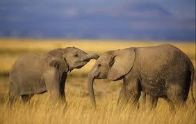 Des jeunes éléphants qui s'amusent entre eux