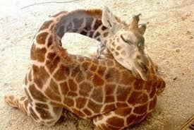 Une Girafe qui dors paisiblement