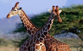 Les Amies Girafes