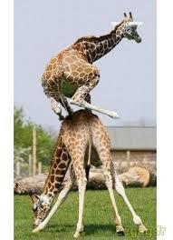 Le saute mouton d'une girafe