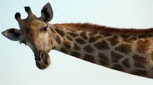 Une girafe qui nous fait coucou