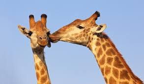 Une girafe donne un gros bisous à son amis