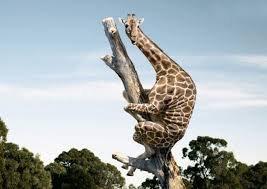 Une girafe qui s'agrippe au tronc d'arbre