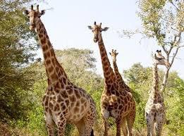 Un petit troupeau de girafe