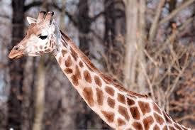 Une girafe qui cherche un amis