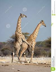 Un accouplement de Girafe