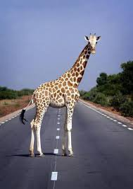 Une girafe qui fait le stop