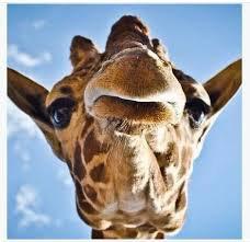 Un selfie d'une girafe de prêt