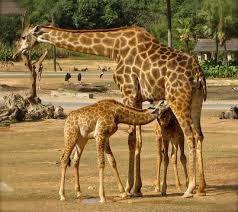Le girafon tète sa mère