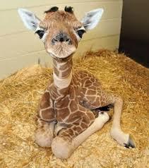Une jeune girafe qui nous fait un coucou