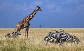 Une girafe qui se promène avec le troupeaux de zèbre