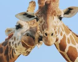 Deux girafes qui nous dit coucou