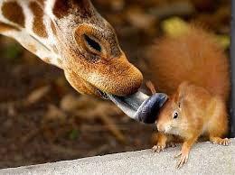 Une girafe qui donne de la tendresse à un écureuil