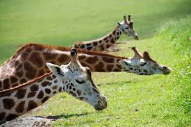 Trois girafe qui dors sur l'herbe