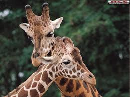 Deux girafe qui se fond des calins