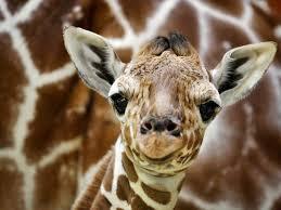 Un bébé girafe qui est auprès de sa mère