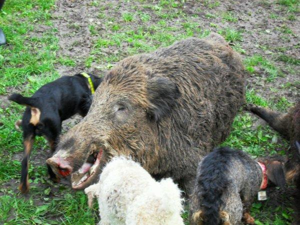 Mes chiens, ma raison de ma passion mes fidèles compagnons :)