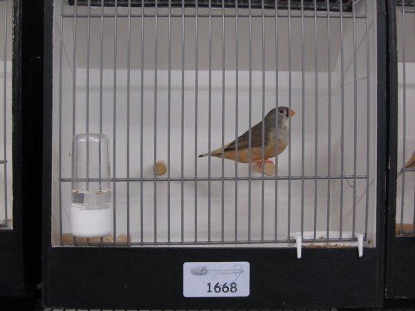 Femelle grise PN à Mr METTERNICH 90 pts