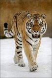 Photo de La-tigresse-du-bengale