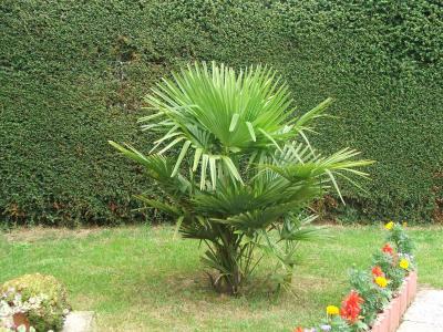 le petit palmier mon beau jardin. Black Bedroom Furniture Sets. Home Design Ideas