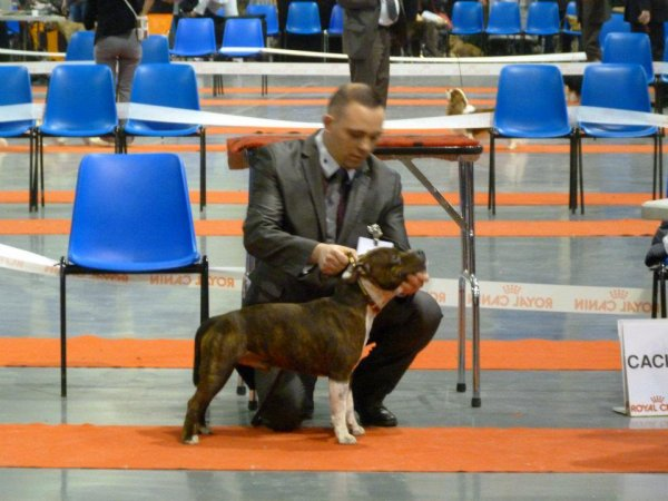 MAT LOVE STAFFIE FALCONE 3 E EXCELL EN CL INTER AU CACIB DE DOUAI YES
