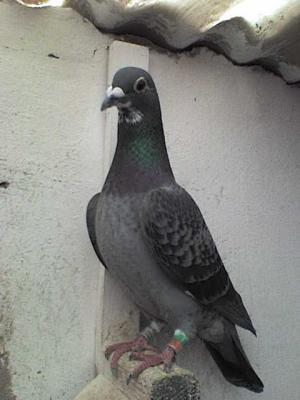 pigeon  maroc