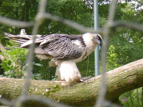 Visite à Pairi Daiza 2009 - Les Rapaces