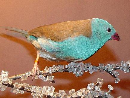 Les oiseaux que j'ai eu - les reproductions réussies et ratées