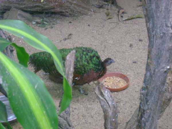 Paon du Congo - Zoo Anvers