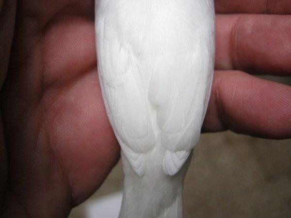 Moineau du japon blanc, le dénouement