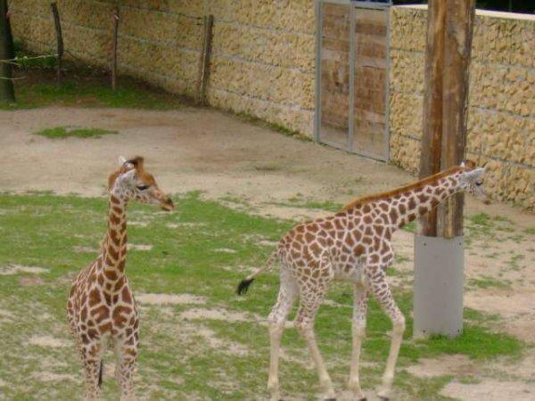 Planckendael 2009 - Girafes et girafons