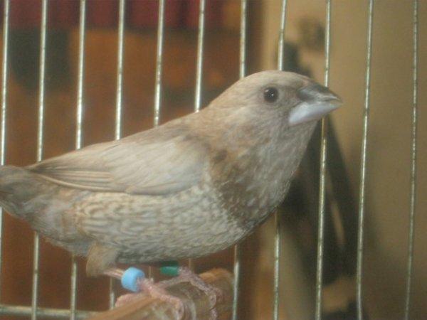 Un deuxième de plus - Perlé brun