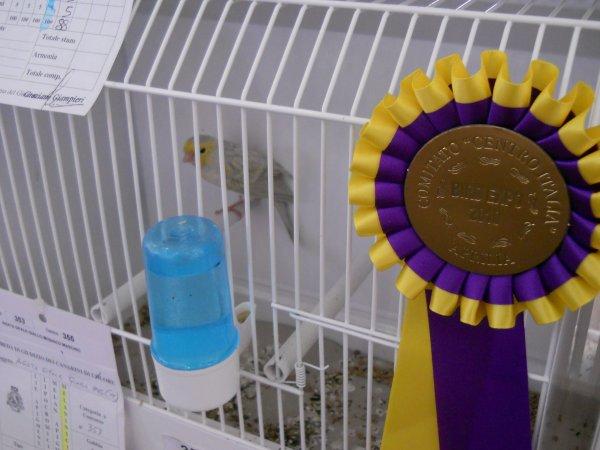 89DV-10-96 MALE AGATE OPALE JAUNE MOSAIQUE 2° INDIVIDUEL 90 POINTS CONCOURS BIRDS EXPO APRILIA 2010