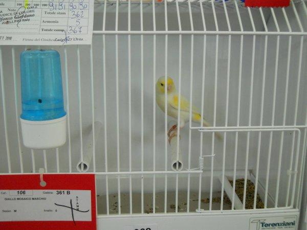 LES MALES 39 ET 121 JAUNES MOSAIQUES GAGNER DU STAM BIRDS EXPO APRILIA 2010 367 POINTS