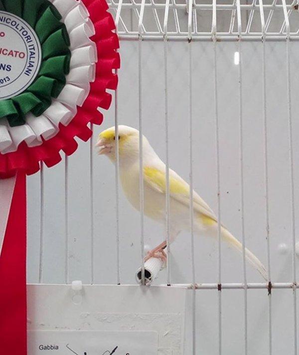 Male 89DV-13-105 gagnant dans le Stam au concours de Fiumicino