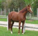 Photo de chevaux-poney26