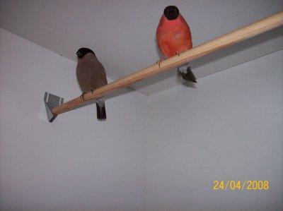 man en pop samen in de kweekbak  -  mâle et femelle ensemble dans la cage d'élevage