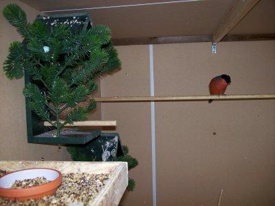goudvink man  -   bouvreuil mâle